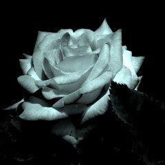 Silberne Rose - voll aufgeblüht