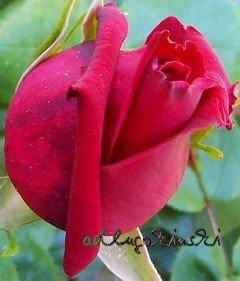 Rosenblätter für das Rosenblütengelee