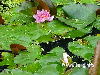 ☼ Wetterprognose Regen: Seerosen zeigen sowohl Sonne als auch Regen an | Kulturmagazin 8ung.info