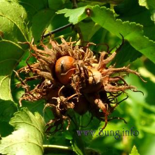 Halselnuss, Frucht mit Hülle