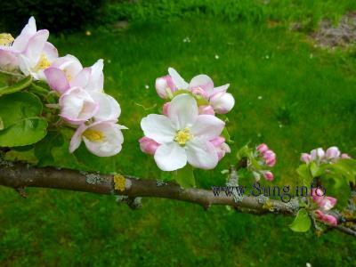 ☼ Bild des Tages: Wetter am 27. April - blühende Apfelbäume im Sonnenschein | Kulturmagazin 8ung.info