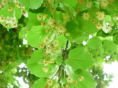 ✿ Wetter im Juni: Blühende Linden mit Honigduft | Kulturmagazin 8ung.info