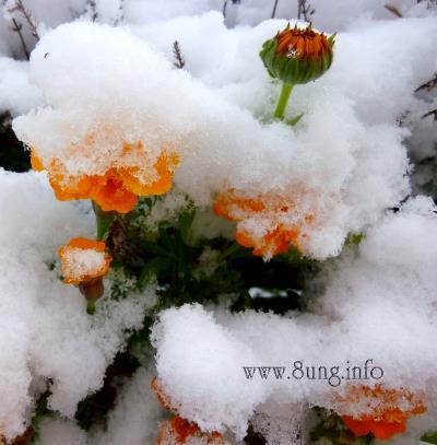 ☼ Wetter am 28. Oktober 2012 – Schneehäubchen auf Tagetes | Kulturmagazin 8ung.info