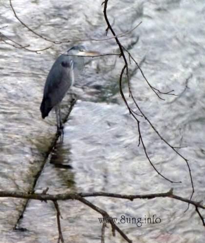 Reiher im Fluss - grau in grau