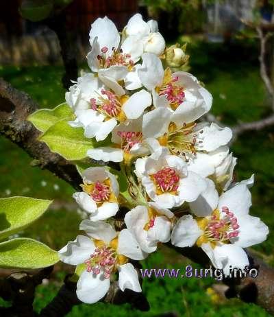 ☼ Wetter am 29. März 2014 – hurra, unser Birnbaum blüht | Kulturmagazin 8ung.info