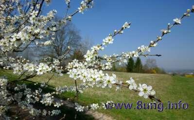 Schlehe mit Blütenzweig