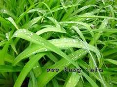 Taglielienblätter bei Regen