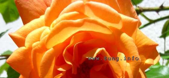 Aprikosenrose in voller Blüte