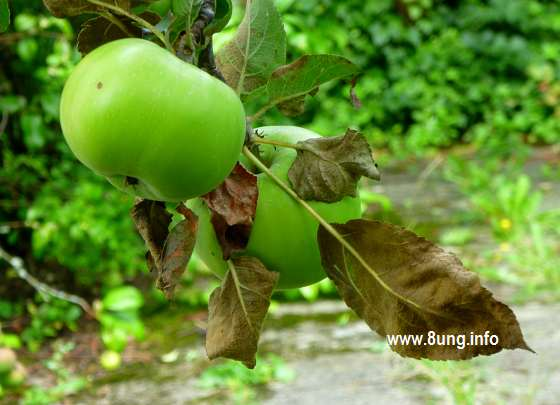 Grüne Äpfel, braune Blätter