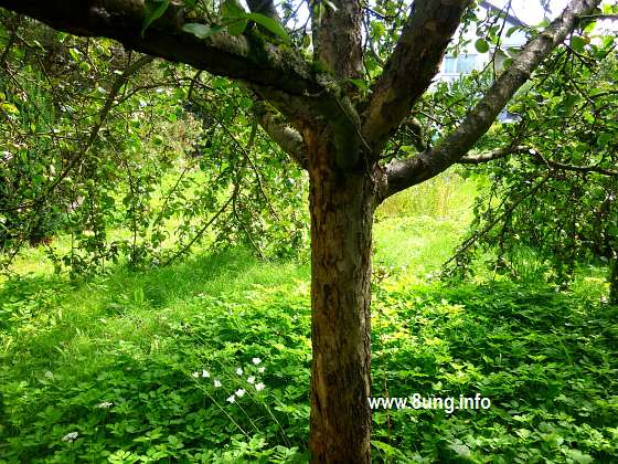 w.apfelbaum.gruen.frucht (9)a