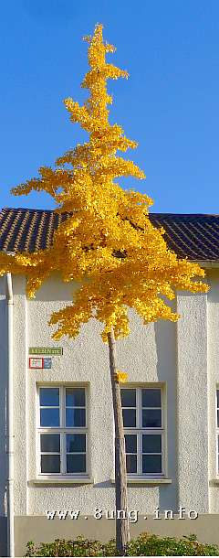 w.gingko.baum.gelb.herbst.blatt (19)