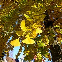 ☼ Wetter am 23. November 2014: Ginkgo in Gold Kulturmagazin 8ung.info Elke Wilkenstein
