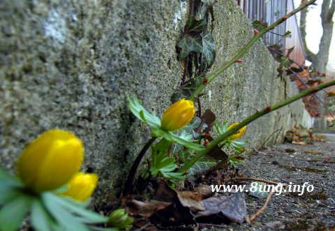 gelbe Winterlinge in der Mauerritze