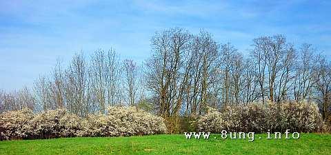 Hecke mit blühenden Schlehen, dahinter kahle Bäume