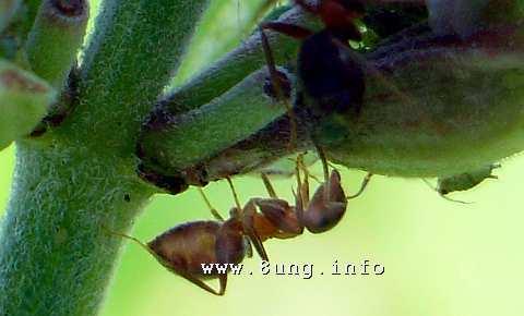 Ameise jagt eine Laus