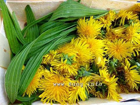 Löwenzahnblüten und Spitzwegerichblätter im Erntekorb
