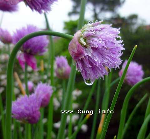 Schnittlauchblüte mit Wassertropfen bei Regen