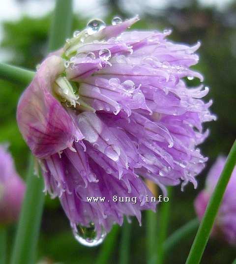 rosa Schnittlauchblüte mit Regentropfen