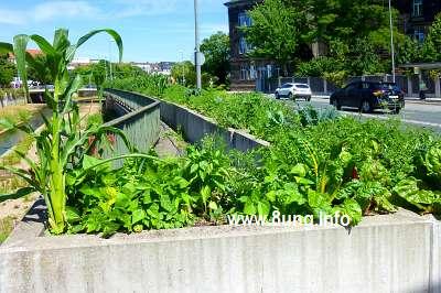 ☼ Wetter am 18. Juli 2015: Gemüse statt Blumen - Straßenbegrünung in Bayreuth Kulturmagazin 8ung.info Elke Wilkenstein