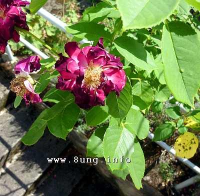 w.rose.welk.rot (6)a