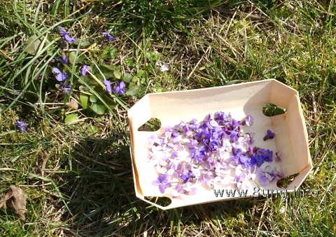 Vielchenblüte und Veilchenernte