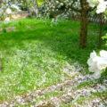 Blüten vom Apfelbaum liegen auf dem rasen