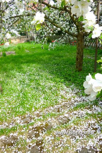 Apfelbaum mit weissen, abfallenden Blüten