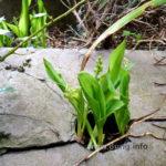 Maiglöckchen mit Blättern und grünen Knospen