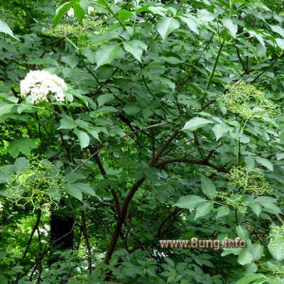 Holunder mit Blüten und Fruchtansatz