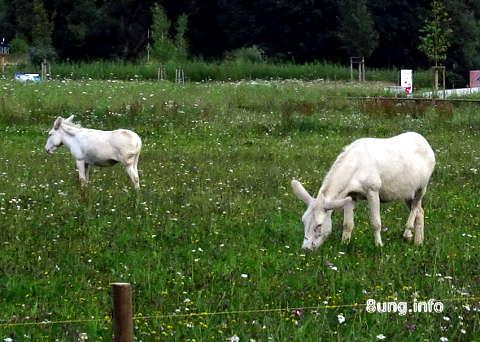 ✿ Weiße Esel in Bayreuth auf der Landesgartenschau | Kulturmagazin 8ung.info