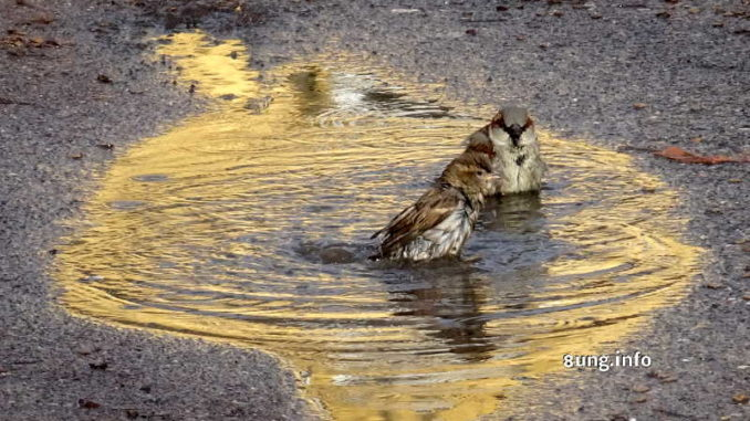 Spatzen baden in gelber Pfütze