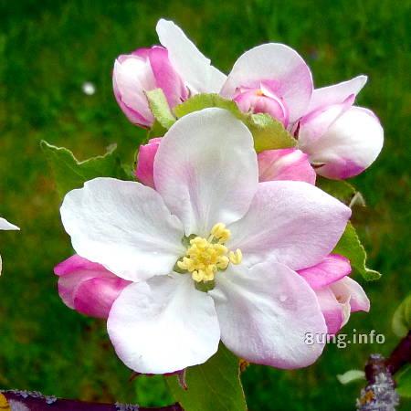 weiss-rosa Blüte eines Apfelbaums
