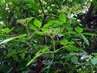 Holunder Knospen Blätter