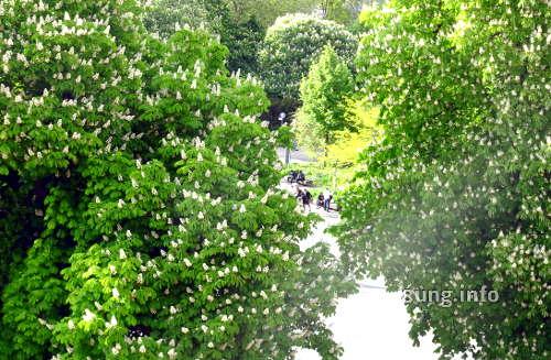 Kastanienblüte im Mai