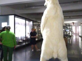 Eisbär im Museum Wiesbaden