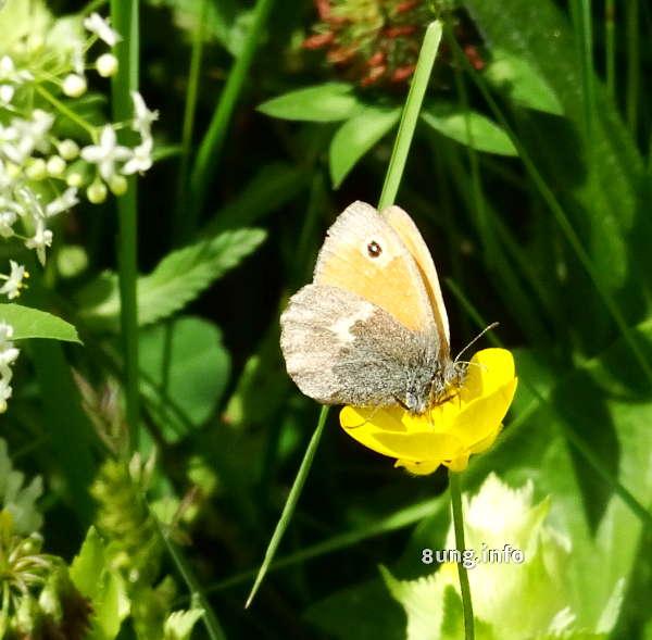 Schmetterling auf gelber Blüte
