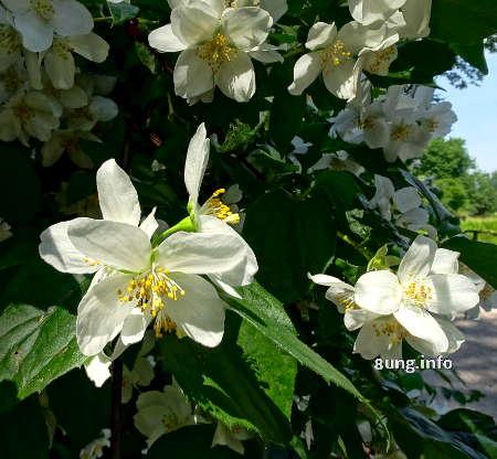 weisse Jasminblüten am Strauch