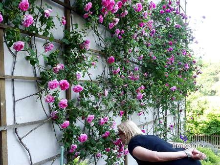 duftende Rosen an Goethes Gartenhaus