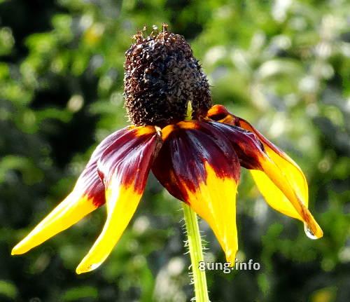 Kokardenblume - gelb, braun - mit Regentropfen