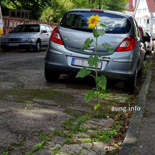 Sonnenblume wächst aus dem Strassenbelag
