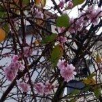 Rosa Blüten zwischen Herbstlaub
