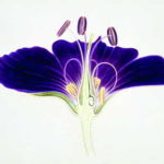 Aquarell, Blüte des Storchenschnabels, Querschnitt