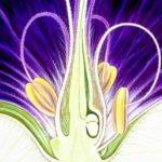 Aquarell, Blüte des Storchenschnabels, Blütenkelch