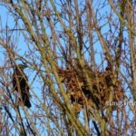 Rabenvogel neben seinem Nest