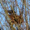 Rabenvogel auf dem Nest