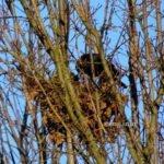 Rabenvogel schwarz Nest
