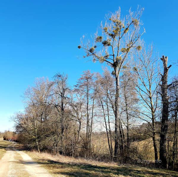 Mistelkolonie auf dem Baum