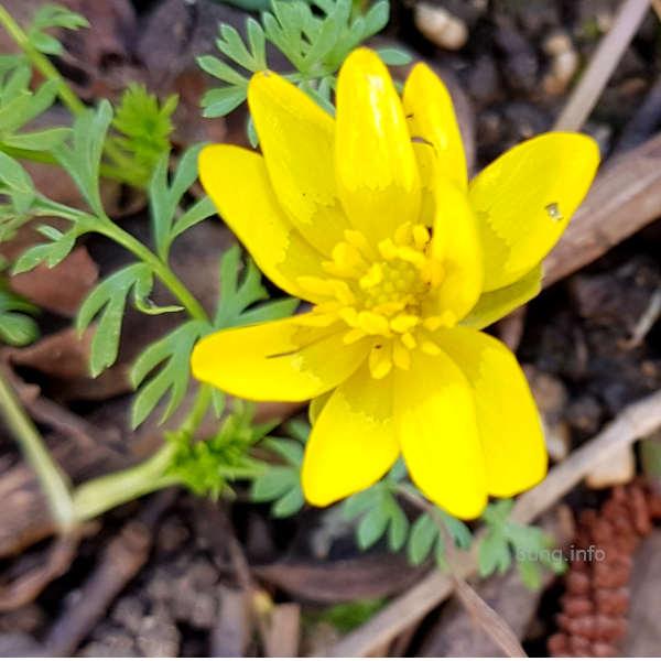 gelbe, glänzende Blüte des Scharbockskrauts