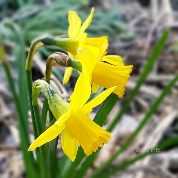 gelbe Zwergnarzissen
