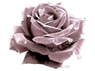 Silberne Rose im Rosenkavalier